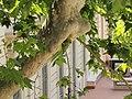 Psittacula krameri (18467307099).jpg