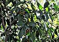Psychotria capensis, loof en vrugte, c, Laeveld NBT.jpg