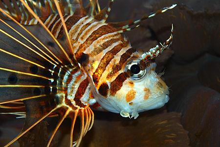 Portrait of a Pterois antennata, Scorpaenidae, Broadbarred firefish