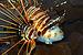Pterois antennata 02.jpg