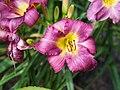 Purple Daylily.jpg