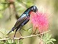 Purple Sunbird (Breeding Male) I- Kolkata IMG 7852.jpg