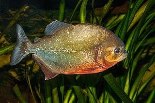 Red-bellied piranha Species of fish