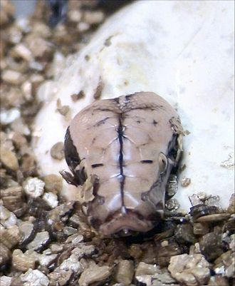 Egg tooth - Borneo short-tailed python (Python breitensteini) hatching with egg tooth visible
