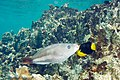 Queen parrotfish Scarus vetula initial phase (3474433779).jpg