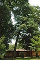 Quercus coccinea (23831000669).jpg