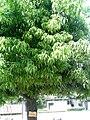 Quercus myrsinifolia ( shi ra ka shi ).jpg