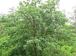 Quercus stellata tree.jpg