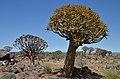Quiver tree forest, Aloe rozsochatá - Namibie - panoramio (2).jpg