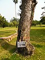Rabindra memorial tree mango .jpg