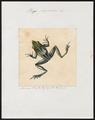 Rana papuana - 1700-1880 - Print - Iconographia Zoologica - Special Collections University of Amsterdam - UBA01 IZ11500031.tif