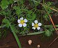 Ranunculus - Flickr - S. Rae.jpg