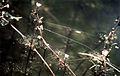 Ranunculus longirostris NRCS-1.jpg