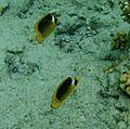 Ras Mohamed butterfly fish.jpg