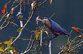 Raw28-Lava-Lava Birds DSC0217 Chestnut bellied Nuthatch.jpg