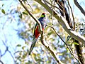 Red-capped Parrot, Blackadder Wetland 2.jpg
