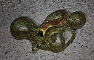 Red-necked Keelback (Rhabdophis subminiatus) 紅脖游蛇5.jpg
