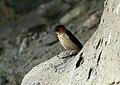 Red-rumped Swallow (Cecropis daurica) (20667482029).jpg
