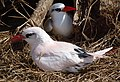 Red-tailed tropicbirds (6977070618).jpg