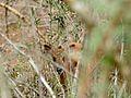 Red Duiker (Cephalophus natalensis) hidden in the bushes ... (31867866050).jpg