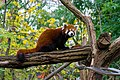 Red Panda (24677236158).jpg