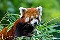 Red Panda (36790491384).jpg
