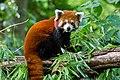Red Panda (37500464871).jpg