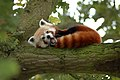 Red Panda in a Tree Y A W N I N G!.jpg