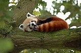 Red Panda in a Tree Y A W N I N G!.jpg