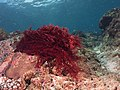 Red algae (Gracilaria sp.) (48737220543).jpg