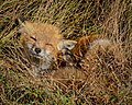 Red fox by Don Freiday (8574257465).jpg