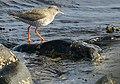 Redshank (Tringa totanus) - geograph.org.uk - 777776.jpg