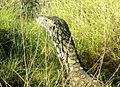 Reptile près d'Exmouth.JPG