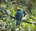 Resplendent Quetzal female. Pharomachrus mocinno - Flickr - gailhampshire.jpg