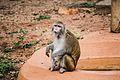Rhesus Macaque (Macaca mulatta).jpg