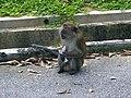 Rhesus Macaque 2.jpg