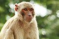 Rhesus Macaque Bokeh.jpg