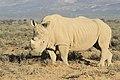 Rhinocerotidae.jpg
