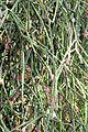Rhipsalis pilocarpa pm.JPG