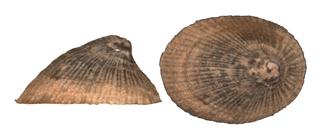 Wicker ancylid Species of gastropod