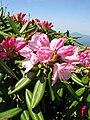 Rhododendron degronianum 3.JPG