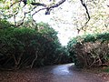 Rhododendron thicket - geograph.org.uk - 609497.jpg