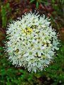 Rhododendron tomentosum 002.JPG