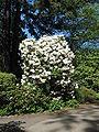 Rhody Garden rhododendron bush.JPG