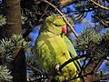 Ring-necked or Rose-ringed Parakeet (31784300330).jpg