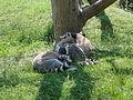 Ring-tailed lemurs at Amazon World Zoo.JPG