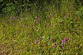Roadside Pyramidal Orchids - geograph.org.uk - 878052.jpg