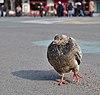 Rock dove (Columba livia) walking on place de la Bourse, Brussels, Belgium (DSCF4422).jpg