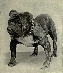 fransk bulldog mops