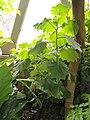 Roldana petasitis - Denver Botanic Gardens - DSC00925.JPG
